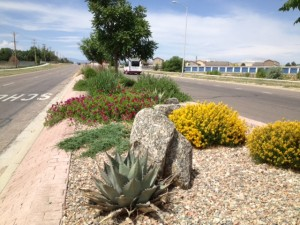northern-median-agave-spring